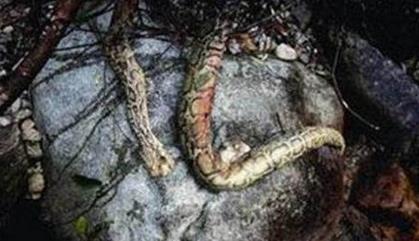 古墓挖出沉睡千年巨蟒:发现者当场吓死