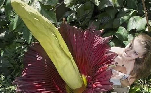世界上最臭的花,如尸肉腐败味道