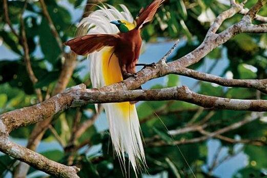 世界上最美丽的鸟,极乐鸟