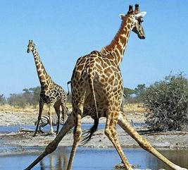 母狮子追杀小长颈鹿:突发一幕惊呆现场