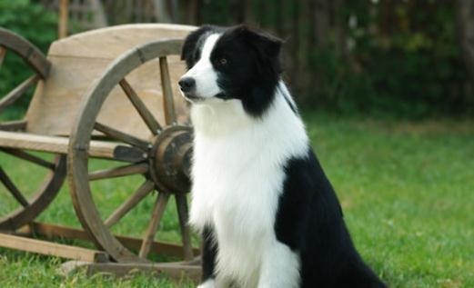 盘点世界十大中型犬排名 最值得养的中型犬