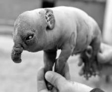 吉林一母豬產下象寶寶,僅存活2小時,疑似基因突變