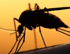 南非发现吸脂蚊子,据说不吸食血液只吸脂肪