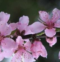 桃花劫会持续多久怎么破解?易犯桃花劫的面相特征