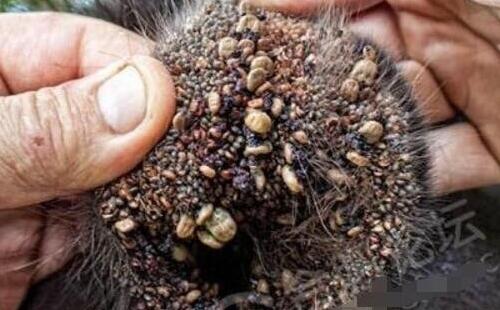 看了让人发麻的蜱虫狗图片,密集恐惧症慎入