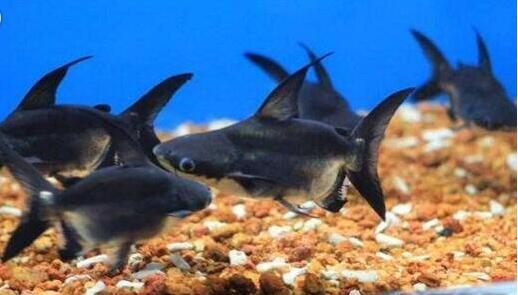 成吉思汗鲨是鲨鱼吗?与蓝鲨有哪些区别?