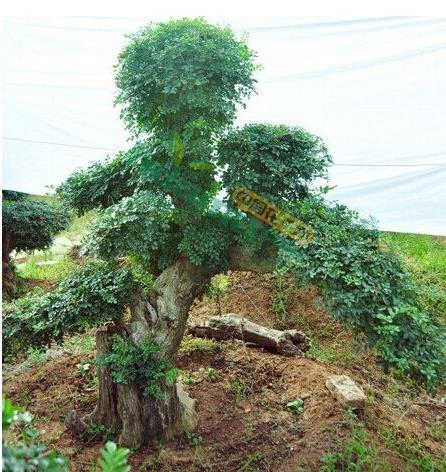 四大镇宅之树