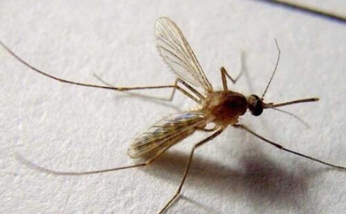 蚊子可以传播的10大疾病,登革热是最致命的疾病之一