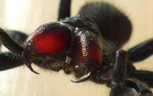 世界上最致命的蜘蛛漏斗网蜘蛛,被咬15分钟毙命