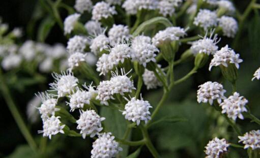 毒性最強的植物合集,世界十大劇毒植物排行榜