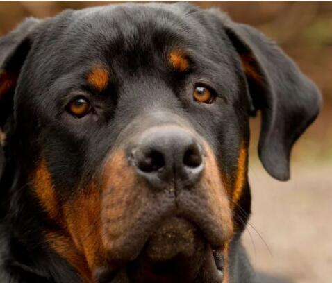 罗威纳犬 (2000美元至8000美元)