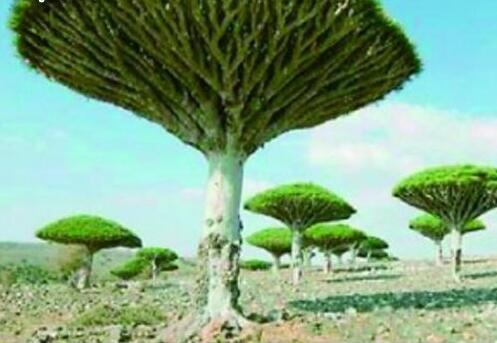 盘点世界十大最神奇的树,据说第一可以产黄金