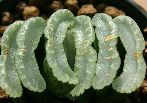 世界上十大名貴多肉植物排名,玉扇可達10萬元