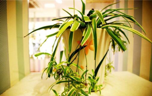十种防辐射好的植物推荐,吊兰被誉为空气净化器