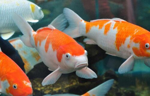 推荐十种最旺宅的风水鱼,金鱼居榜首被称为国宝鱼