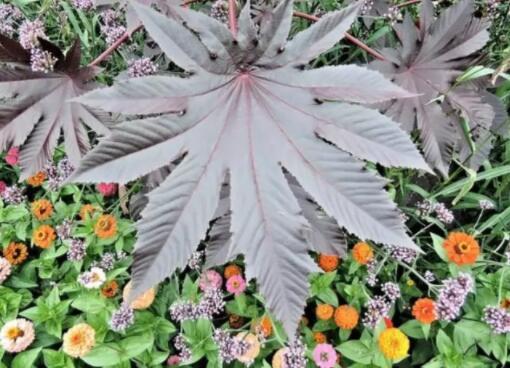 世界上毒性最强的十种植物盘点,非洲相思子会丧命