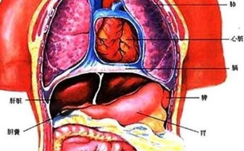 人体器官分布图:五脏六腑高清图片大全