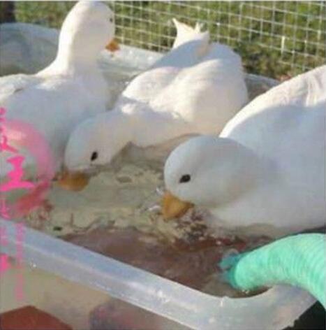 王思聪买的鸭子是个什么梗?究竟是怎么回事?