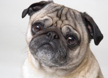 最适合老年人养的宠物狗,十大宠物狗品种排名