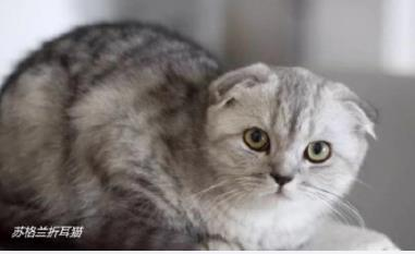 十大最受欢迎猫咪品种排行:你家小主子上榜了么