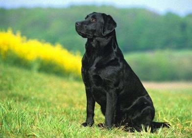 家庭養什么狗最干凈認主人,十大忠誠的狗狗排名