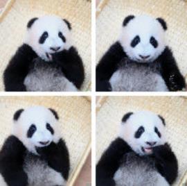 2019大熊猫最新数据发布:全球圈养大熊猫达600只