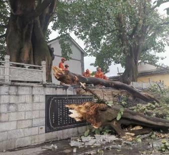 大理古城500年情侶樹被風吹斷,樹大敵不過妖風